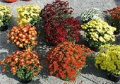 Fall mum plants.