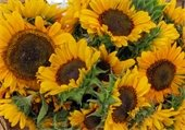 Canton Farmers Market photo of Sunflowers